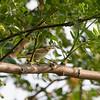 JAPANESE LEAF WARBLER <i>Phylloscopus xanthodryas</i> Candaba, Pampanga, Philippines
