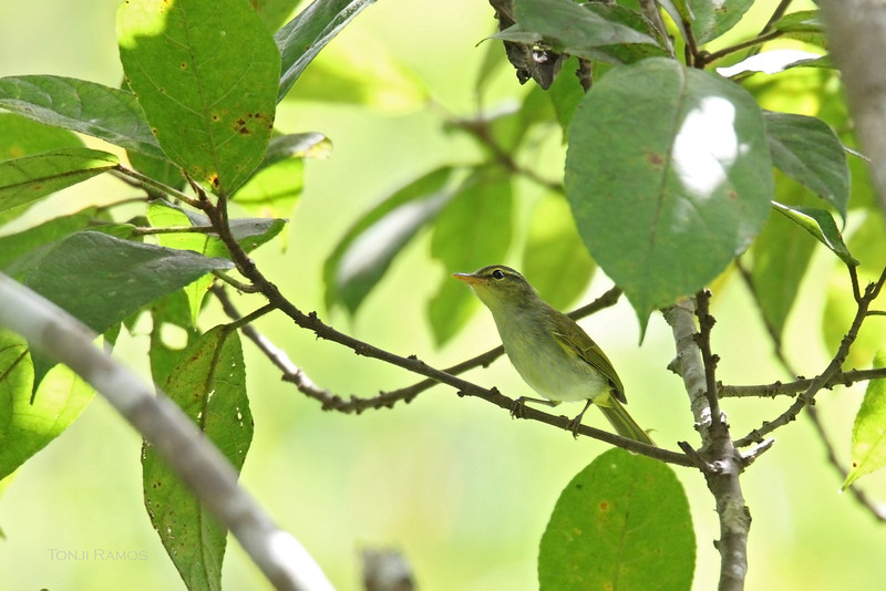 LEMON-THROATED LEAF-WARBLER <i>Phylloscopus cebuensis</i> Sibulan, Negros Oriental, Philippines