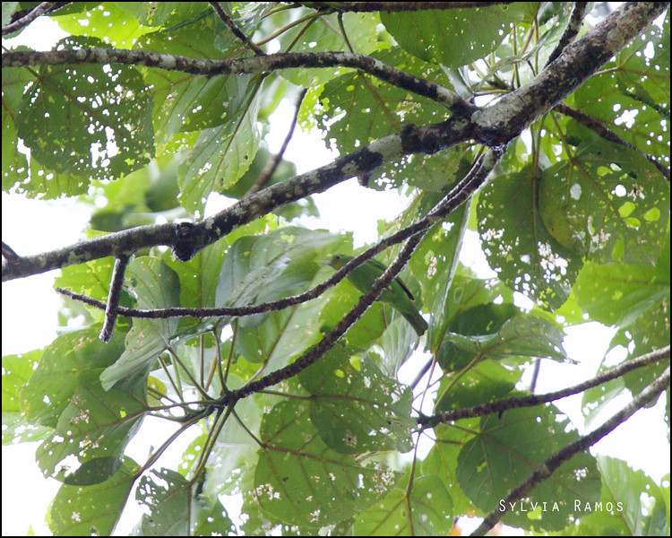 PHILIPPINE LEAFBIRD <i>Chloropsis flavipennis</i> PICOP, Bislig, Surigao del Sur