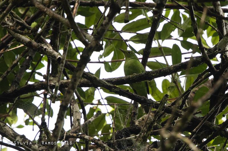 PHILIPPINE LEAFBIRD