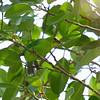 YELLOW-THROATED LEAFBIRD <i>Chloropsis palawanensis</i> Puerto Princesa, Palawan, Philippines