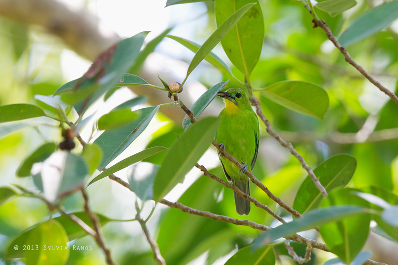 YELLOW-THROATED LEAFBIRD <i>Chloropsis palawanensis</i> Puerto Princesa, Palawan, Philippines