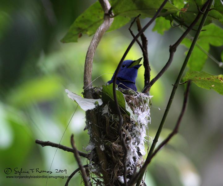 BLACK NAPED MONARCH <i>Hypothymis azurea</i> Mt.Palay Palay, Cavite, Philippines