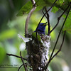 BLACK NAPED MONARCH <i>Hypothymis azurea</i> Mt.Palay Palay, Cavite, Philippines