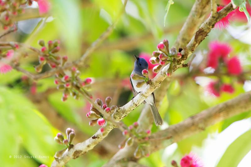 BLACK NAPED MONARCH <i>Hypothymis azurea</i> Mapawa Nature Reserve, Malasag, Cagayan de Oro
