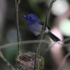 BLACK NAPED MONARCH <i>Hypothymis azurea</i> Sierra Madre, Nueva Ecija, Philippines