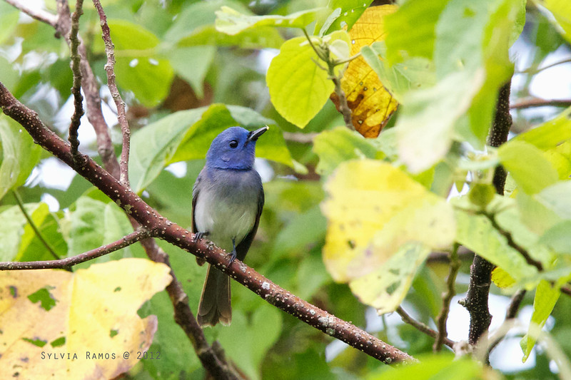BLACK NAPED MONARCH <i>Hypothymis azurea</i> PICOP, Bislig, Surigao del Sur  Desmond Allen said this is either an immature male or old female. Note that it has some blue on the back and doesn't have the black nape.