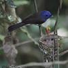 BLACK NAPED MONARCH <i>Hypothymis azurea</i> Sierra Madre, Nueva Ecija, Philippines