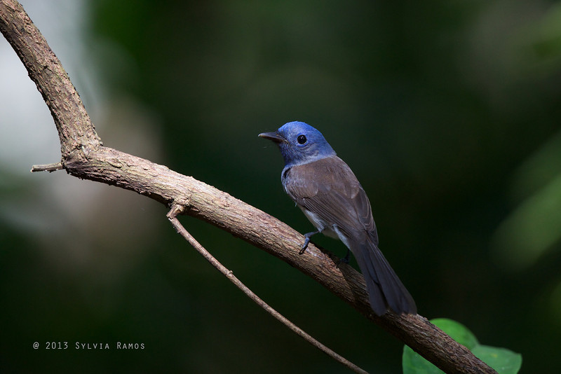 BLACK NAPED MONARCH <i>Hypothymis azurea</i> Polillo Island, Quezon