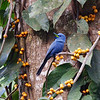 BLUE PARADISE FLYCATCHER <i>Terpsiphone cyanescens</i> Puerto Princesa, Palawan, Philippines