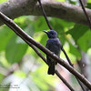BLUE PARADISE FLYCATCHER <i>Terpsiphone cyanescens</i> Coron, Palawan, Philippines