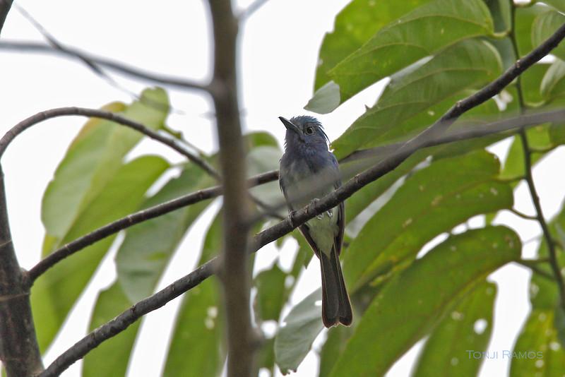 CELESTIAL MONARCH <i>Hypothymis coelestis</i> PICOP, Bislig, Surigao del Sur