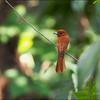 RUFOUS PARADISE FLYCATCHER <i>Terpsiphone cinnamomea</i> Antipolo, Rizal