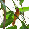 RUFOUS PARADISE FLYCATCHER, female <i>Terpsiphone cinnamomea</i> Polillo Island, Quezon