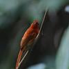 RUFOUS PARADISE-FLYCATCHER, female Terpsiphone cinnamomea Polillo Island, Quezon