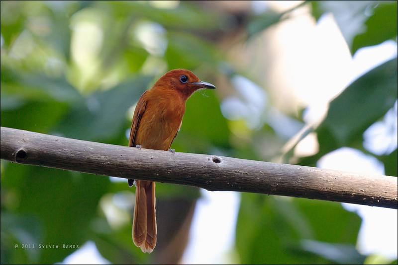 RUFOUS PARADISE FLYCATCHER, female <i>Terpsiphone cinnamomea</i> Antipolo, Rizal