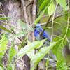 SHORT-CRESTED MONARCH <i>Hypothymis helenae</i> PICOP, Bislig, Surigao del Sur