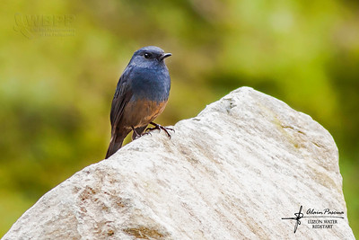 Birds of Mt. Polis