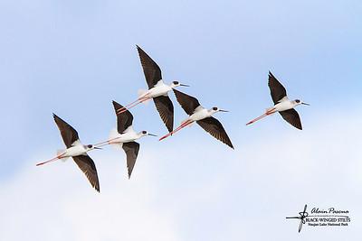 Birds at Naujan Lake