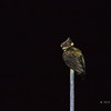 GREAT EARED NIGHTJAR