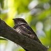 PHILIPPINE NIGHTJAR <i>Caprimulgus manillensis</i> UP Diliman, Quezon City, Philippines