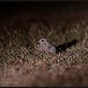 SAVANNA NIGHTJAR <i>Caprimulgus affinis</i> Alabang, Muntinlupa, Philippines