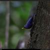 SULPHUR- BILLED NUTHATCH  <i>Sitta oenochlamys</i> Mt.Makiling, Laguna, Philippines