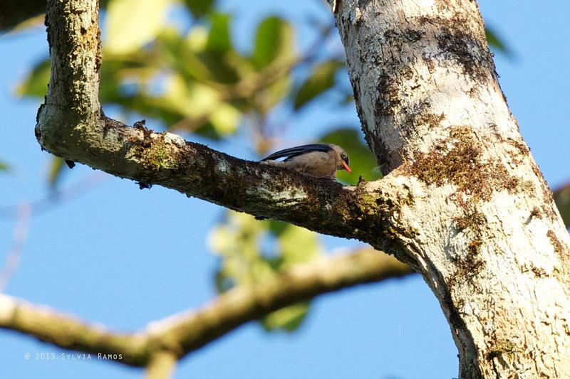 VELVET-FRONTED NUTHATCH <i>Sitta frontalis palawana</i> Puerto Princesa, Palawan, Philippines