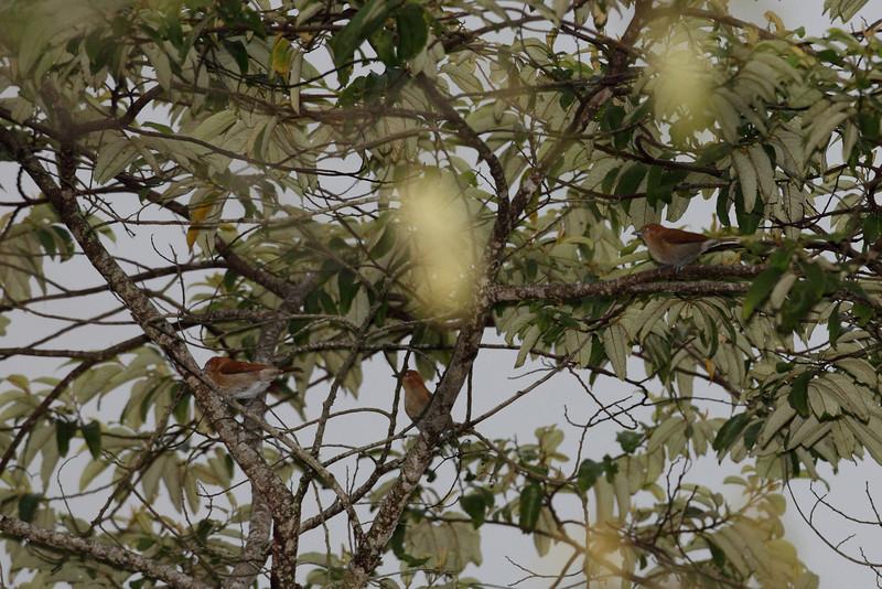 CINNAMON IBON  <i>Hypocryptadius cinnamomeus</i> Mt. Kitanglad, Bukidnon, Philippines