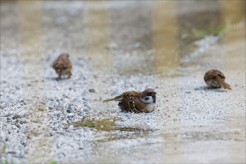 EURASIAN TREE SPARROW <i>Passer montanus</i> Cavite, Philippines  sand bath!