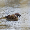 EURASIAN TREE SPARROW <i>Passer montanus</i> Cavite, Philippines