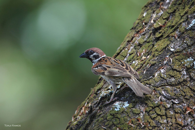 EURASIAN TREE SPARROW <i>Passer montanus</i> Alabang, Philippines