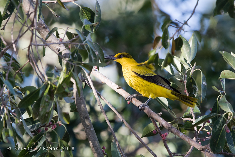 BLACK NAPED ORIOLE  Oriolus chinensis