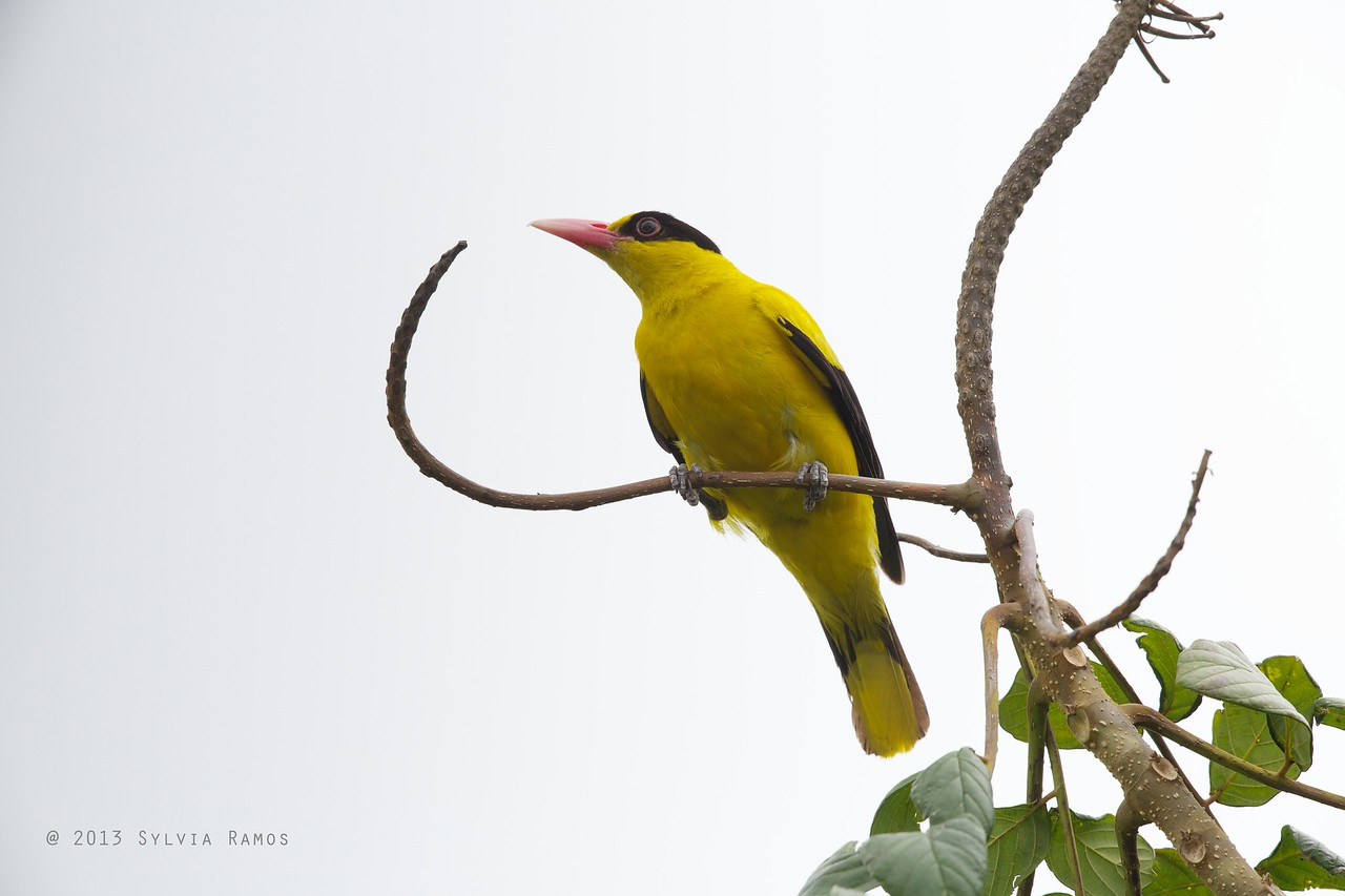 BLACK NAPED ORIOLE  <i>Oriolus chinensis</i> Alabang, Philippines  This was outside our bedroom window.