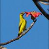 BLACK NAPED ORIOLE  <i>Oriolus chinensis</i> Subic, Zambales, Philippines  posing like a sunbird!