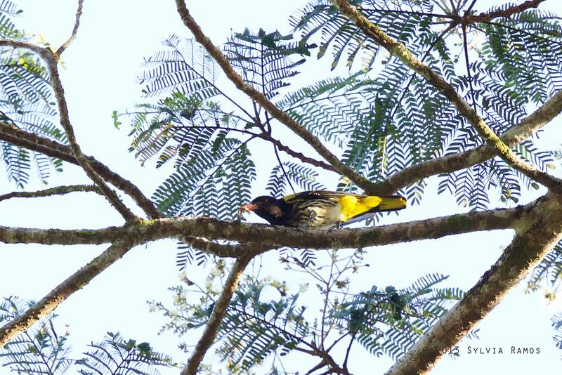DARK-THROATED ORIOLE <i>Oriolus xanthonotus</i> Puerto Princesa, Palawan  It was eating a caterpillar.