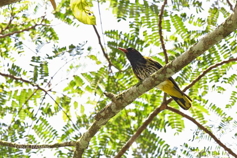 DARK-THROATED ORIOLE <i>Oriolus xanthonotus</i> Puerto Princesa, Palawan