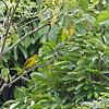ISABELA ORIOLE <i>Oriolus isabellae</i> Baggao, Cagayan, Isabela