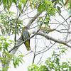 PHILIPPINE ORIOLE <i>Oriolus steerii</i> PICOP, Bislig, Surigao del Sur