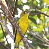 WHITE-LORED ORIOLE  <i>Oriolus albiloris</i> Northern Sierra Madre, Luzon, Philippines