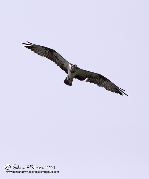 WESTERN OSPREY <i>Pandion haliaetus</i> Ayala Alabang, Muntinlupa, Philippines  The white feathers on the top of the bird's head can be seen in this picture