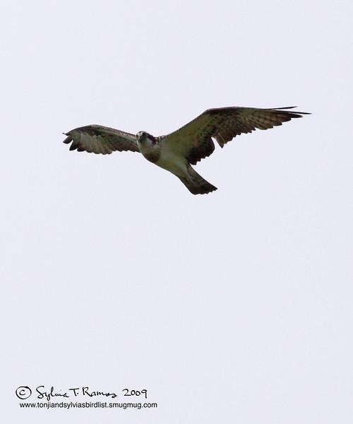 WESTERN OSPREY <i>Pandion haliaetus</i> Ayala Alabang, Muntinlupa, Philippines