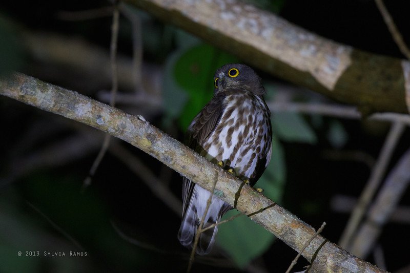 This could be Northern Boobook or Brown Hawk-Owl, depending on the call. We're waiting to show the video with the owl calling to the experts for ID.   BROWN HAWK-OWL <i>Ninox scutulata</i> Valencia, Dumaguete, Philippines