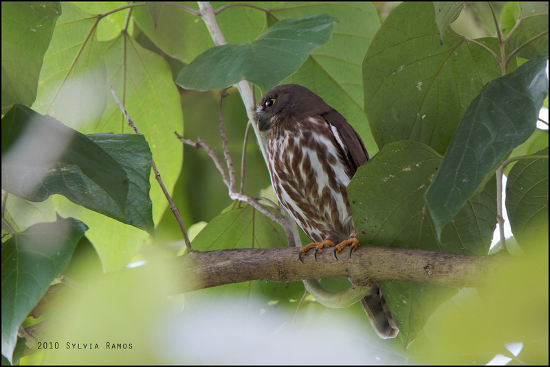 NORTHERN BOOBOOK <i>Ninox japonica</i> BF Homes, Parañaque, Philippines