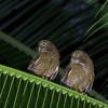 Camiguin Hawk-Owl