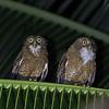 Camiguin Hawk-Owl <i>Ninox leventisi</i> Camiguin Island, Northern Mindanao