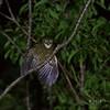 CEBU HAWK-OWL