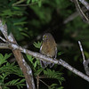CEBU HAWK-OWL <i>Ninox rumseyi</i> Nug-As, Alcoy, Cebu