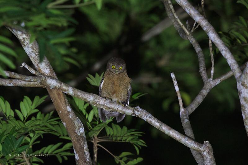 CEBU HAWK-OWL <i>Ninox rumseyi</i> Nug-As, Alcoy, Cebu