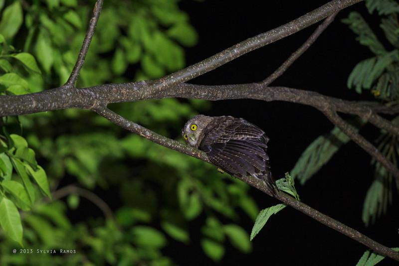 CEBU HAWK-OWL <i>Ninox rumseyi</i> Nug-As, Alcoy, Cebu  Hawk Owls frequently adopt this posture with the wings dropped.